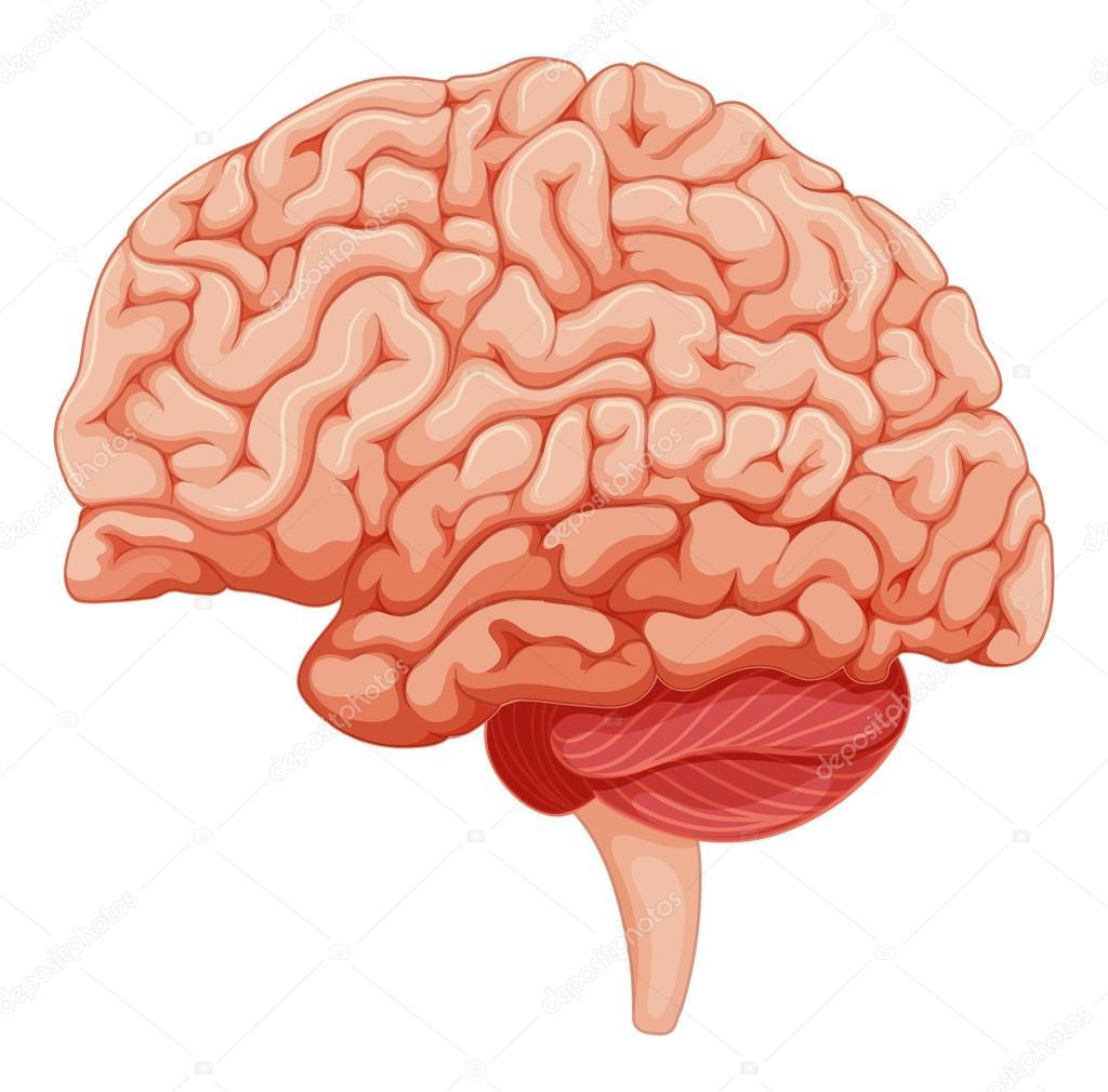 Cerrar sobre la anatomía del cerebro — Vector de stock ...
