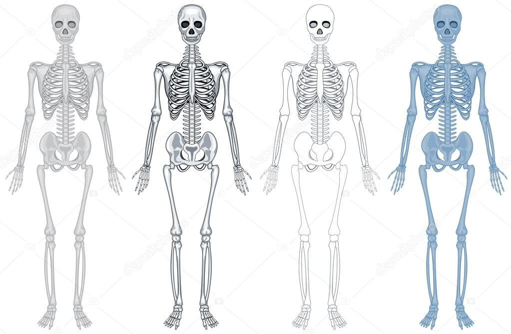 Different diagram of human skeleton stock vector interactimages different diagram of human skeleton illustration vector by interactimages ccuart Choice Image