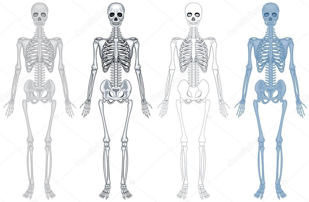 Diferente esquema de esqueleto humano — Vector de stock ...
