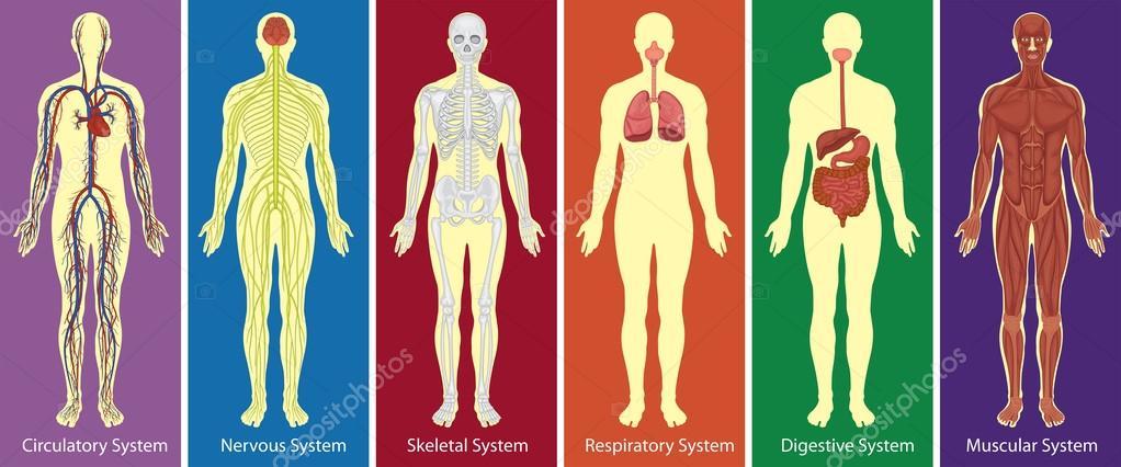 Diferentes sistemas del diagrama del cuerpo humano — Archivo ...