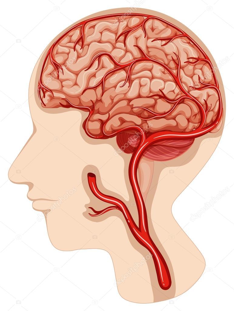 Diagrama del cerebro humano sobre fondo blanco — Archivo Imágenes ...