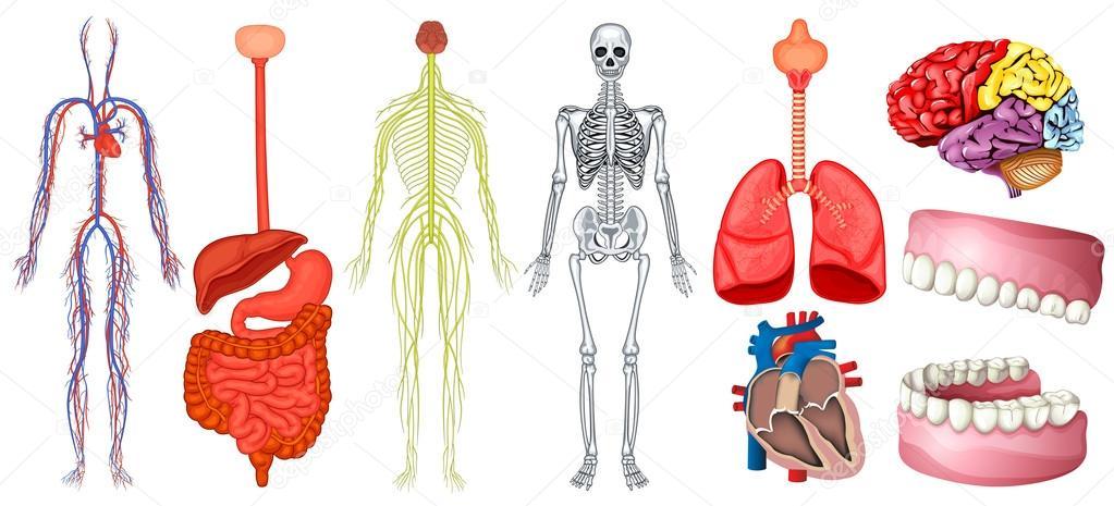 Diagrama de la anatomía humana — Vector de stock © interactimages ...