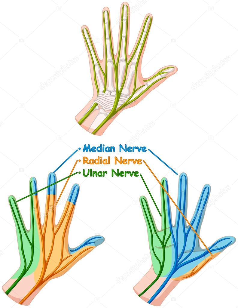 Farbe Diagramm Hand Nerven — Stockvektor © interactimages #115172882