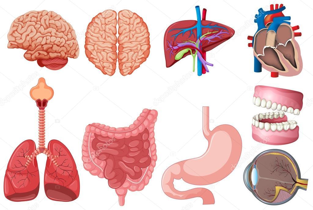 Juego de anatomía humana — Archivo Imágenes Vectoriales ...
