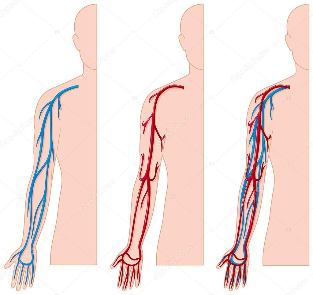 Blood vessels in human hand — Stock Vector © interactimages #115173382