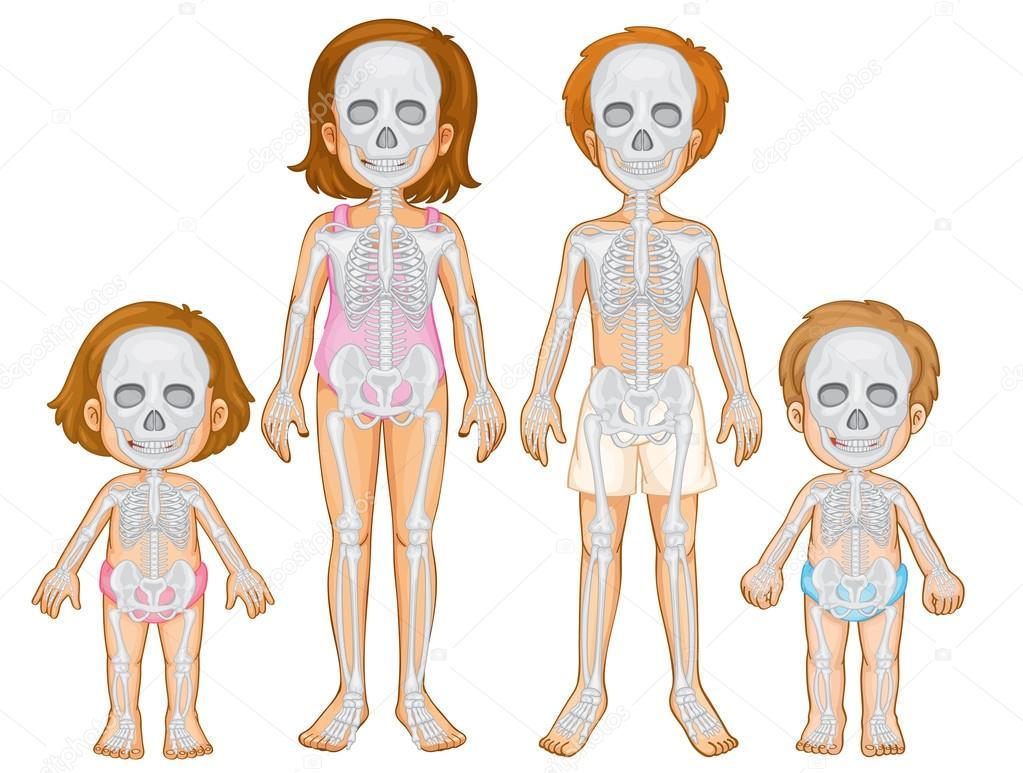 Skelett-System des Menschen — Stockvektor © interactimages #115173424