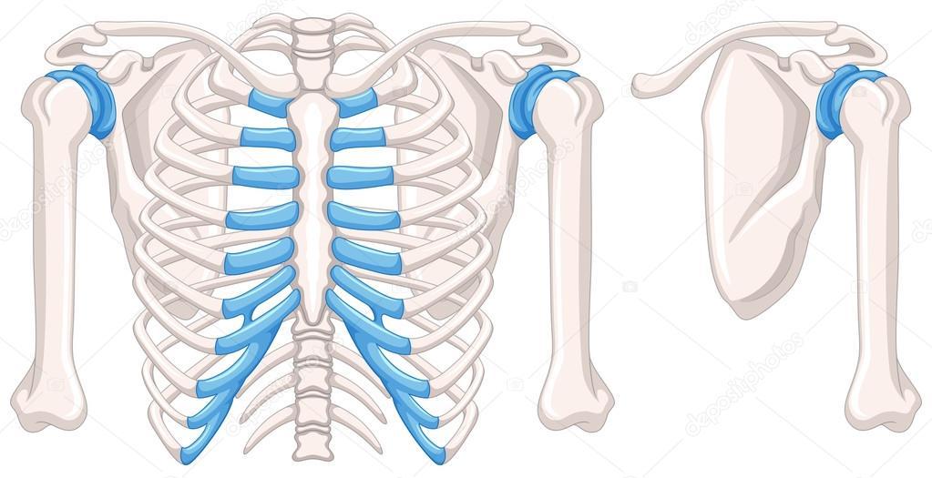Diagram Showing Shoulder Bones Stock Vector Interactimages