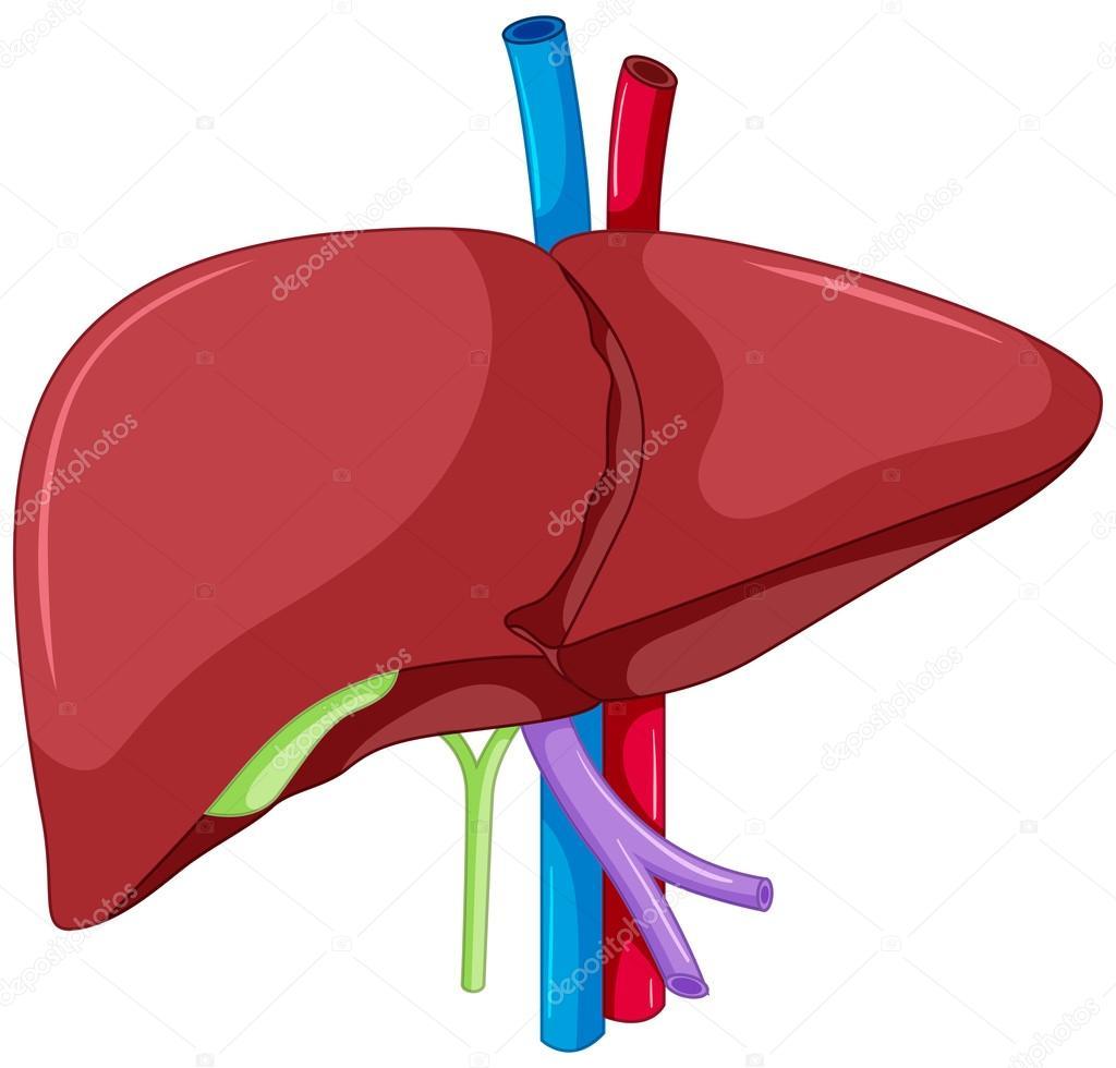 Anatomía del hígado del cuerpo humano — Archivo Imágenes Vectoriales ...