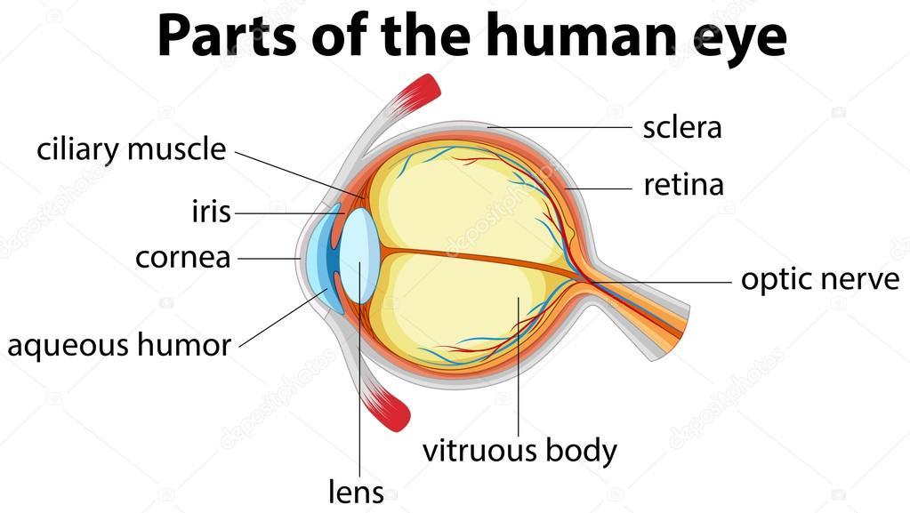 Partes del ojo humano con nombre — Archivo Imágenes Vectoriales ...