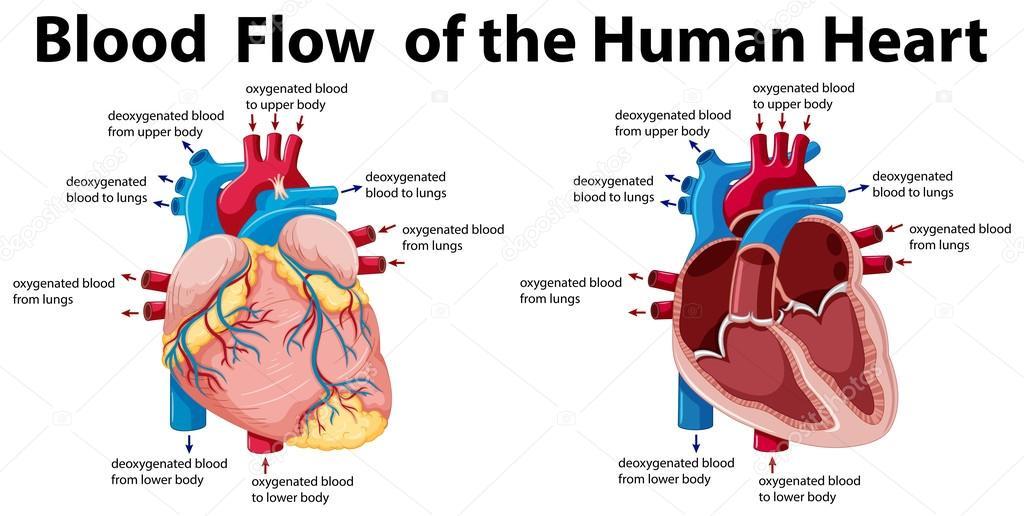Durchblutung des menschlichen Herzens — Stockvektor © interactimages ...