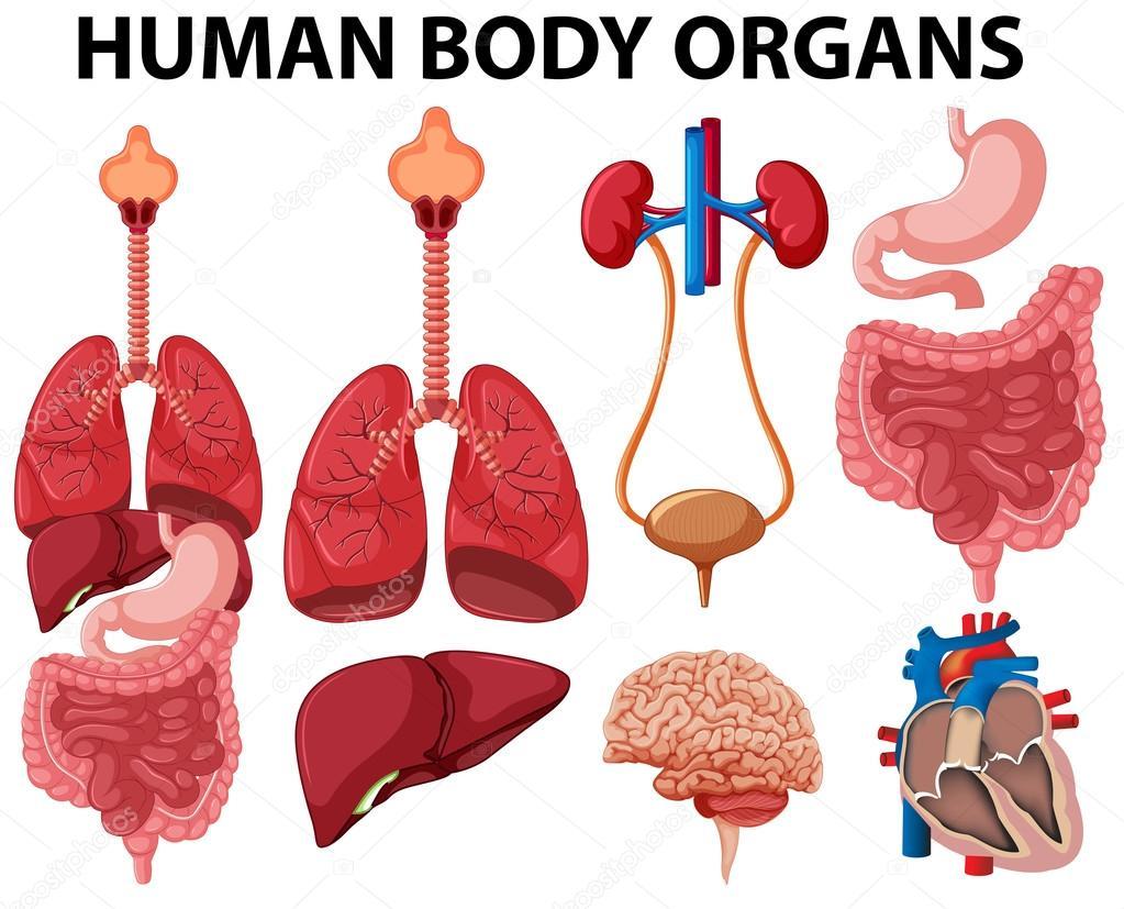 Diferentes tipos de órganos cuerpo humano — Vector de stock ...