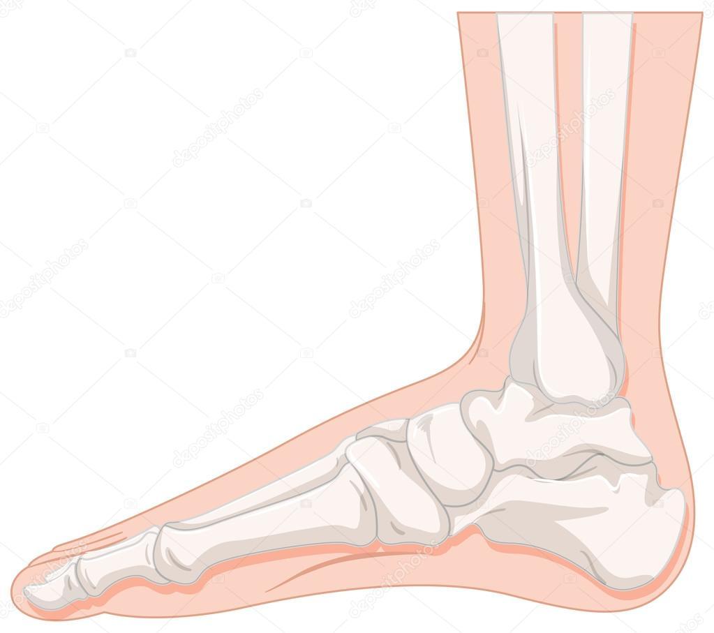 Fußknochen des Menschen — Stockvektor © interactimages #115174718