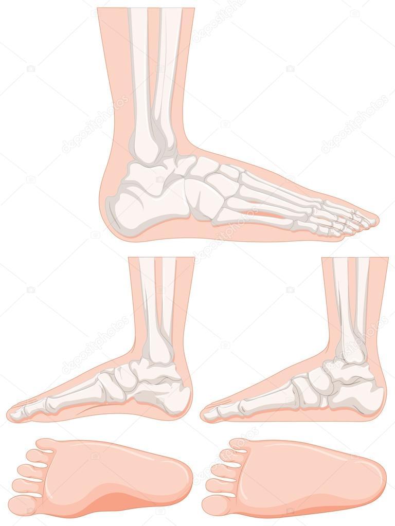 Conjunto de huesos del pie humano — Vector de stock © interactimages ...