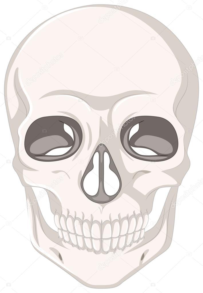 cráneo humano sobre fondo blanco — Vector de stock © interactimages ...