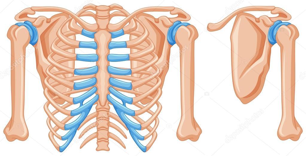 Structure of shoulder bones — Stock Vector © interactimages #115175030