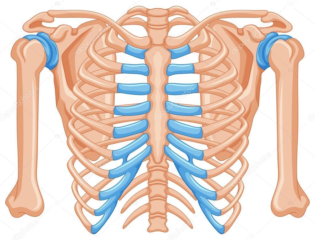 Schulterknochen auf weißem Hintergrund — Stockvektor ...