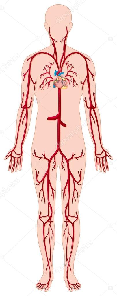 Vasos sanguíneos en el cuerpo humano — Vector de stock ...