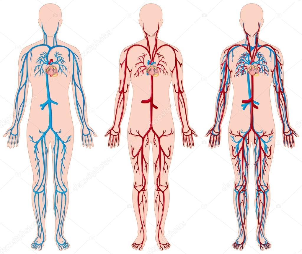 Unterschiedliche Darstellung der Blutgefäße im menschlichen ...