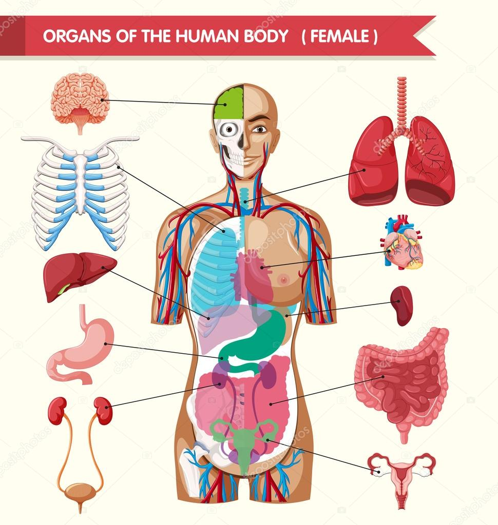 Organs of the human body diagram stock vector interactimages organs of the human body diagram stock vector ccuart Images