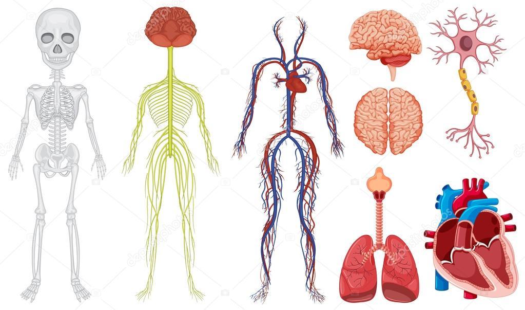 Sistema diferente en el cuerpo humano — Vector de stock ...