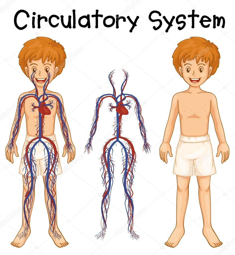 Muchacho con el sistema circulatorio — Vector de stock ...