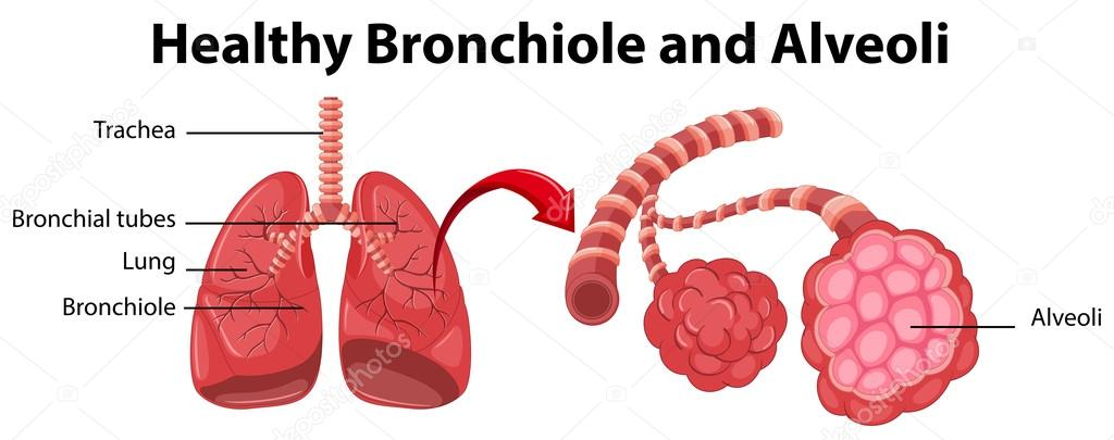 Diagram Showing Healthy Bronchiole And Alveoli Stock Vector