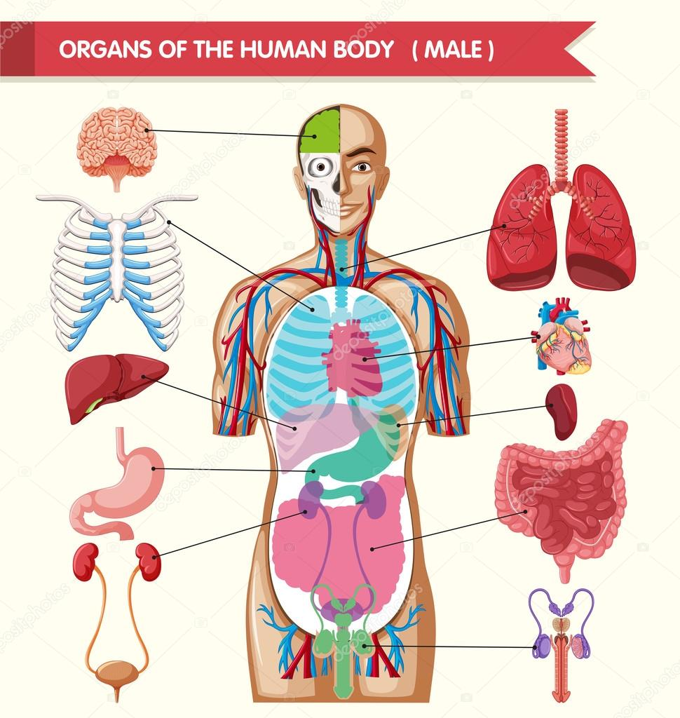 Gráfico que muestra los órganos del cuerpo humano — Archivo Imágenes ...