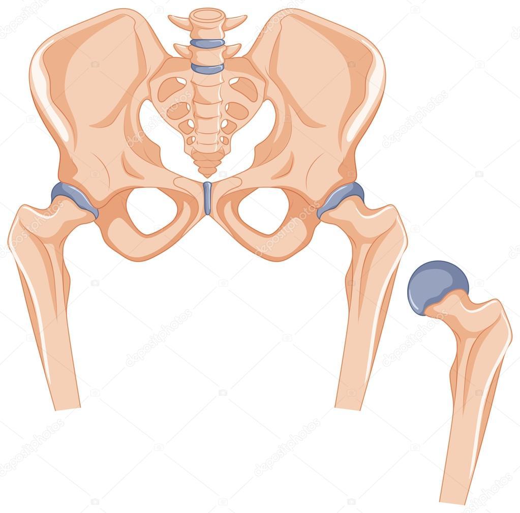 Huesos de la cadera en el cuerpo humano — Archivo Imágenes ...