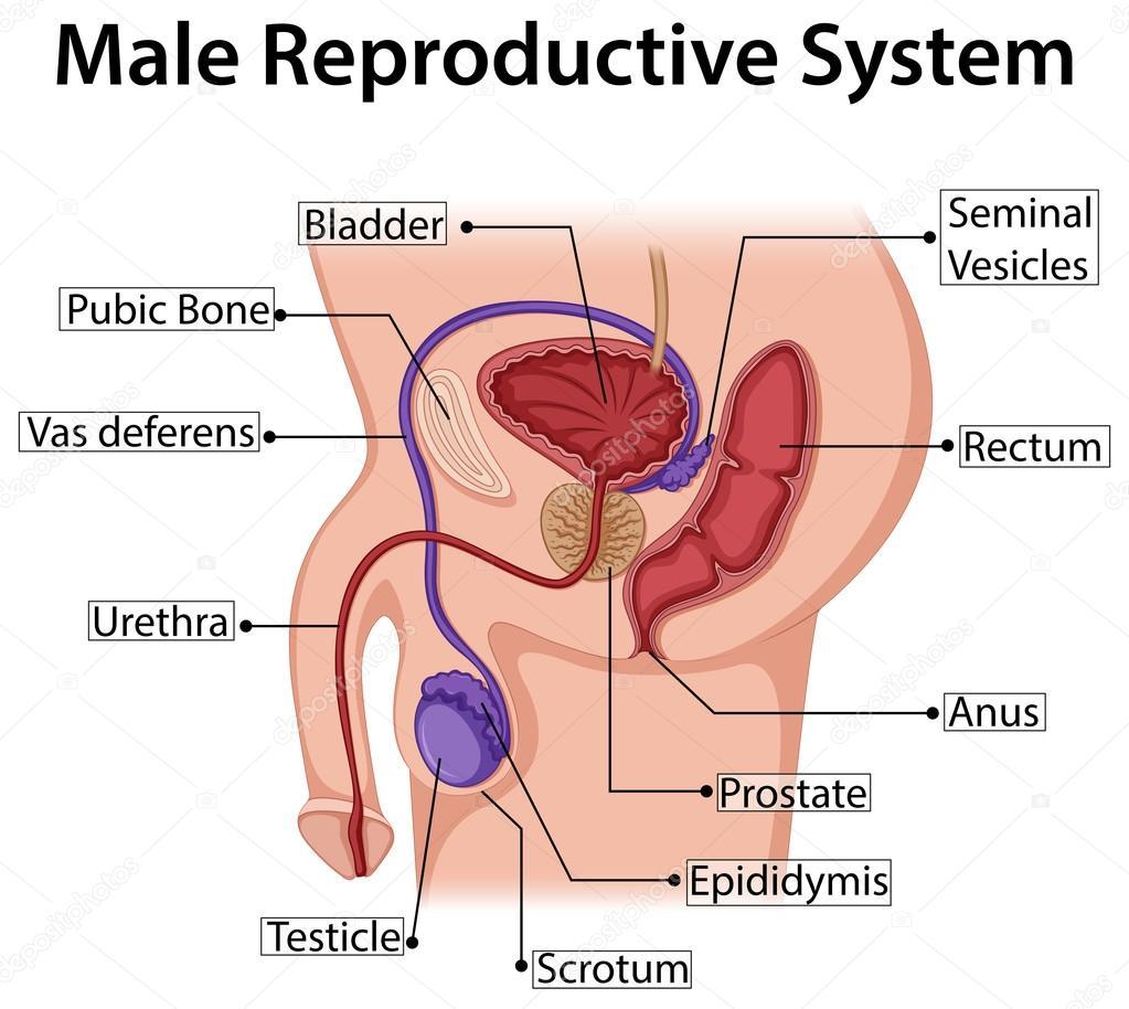 Diagrama que muestra el sistema reproductivo masculino — Vector de ...