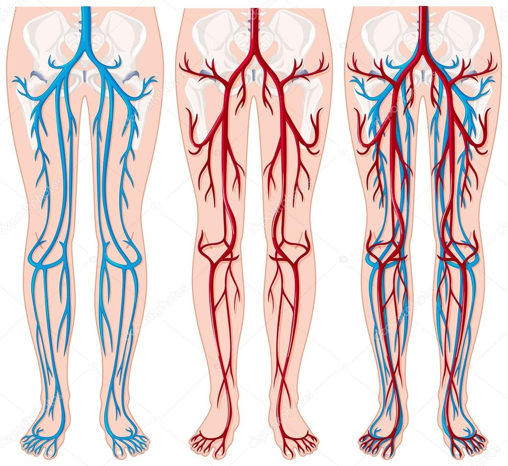 Blood vessels in human legs — Stock Vector © interactimages #116840478
