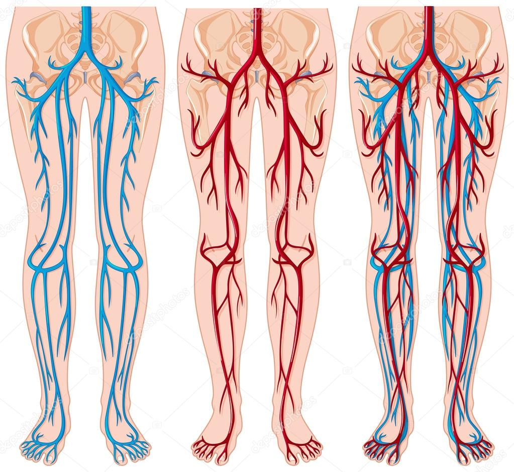 Diagram showing blood vessels in human — Stock Vector ...