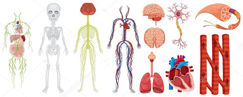 Diferentes sistemas en el cuerpo humano — Archivo Imágenes ...