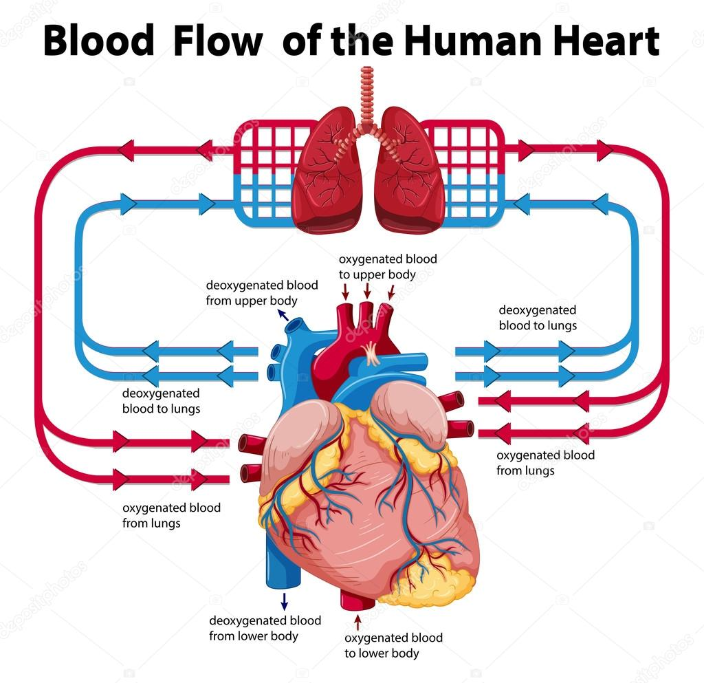 Flood of blood through heart diagram electrical work wiring diagram diagram showing blood flow of human heart stock vector rh depositphotos com blood traveling through heart how blood travels through the heart ccuart Image collections