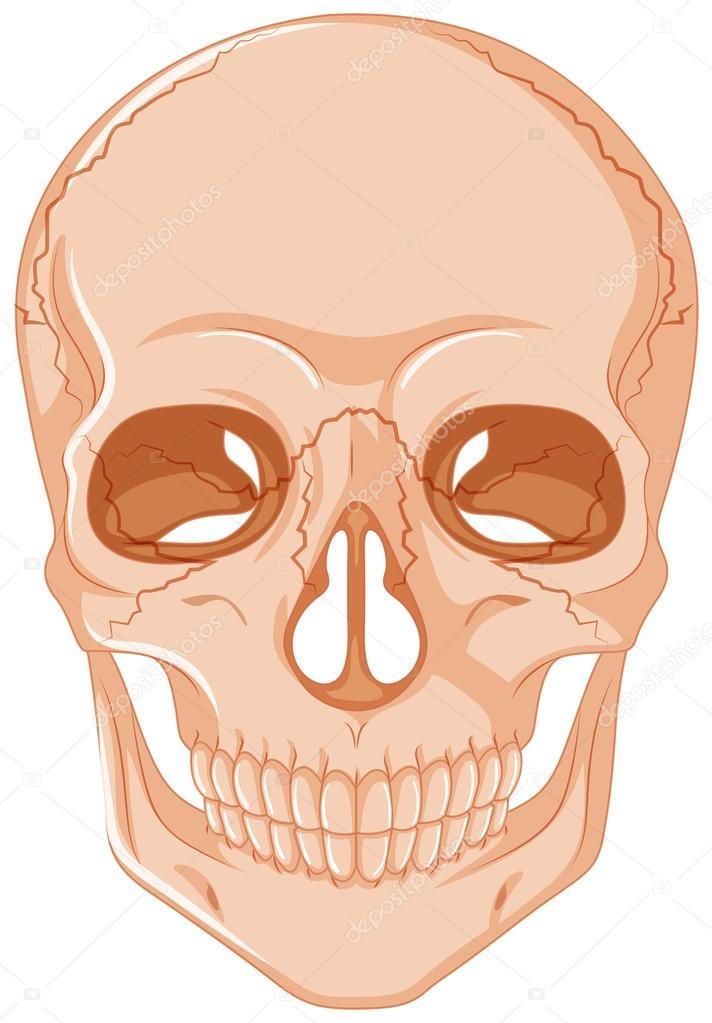 Agrietado cráneo sobre fondo blanco — Vector de stock ...