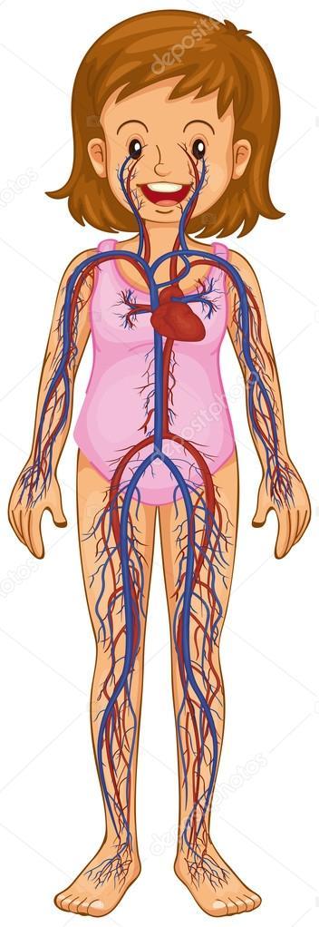 Diagrama de chica y los vasos sanguíneos pequeños — Vector de stock ...
