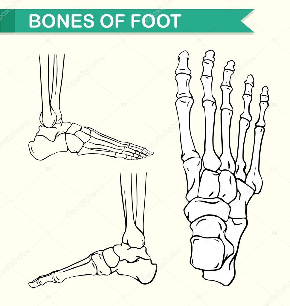 Diagrama que muestra los huesos del pie — Vector de stock ...