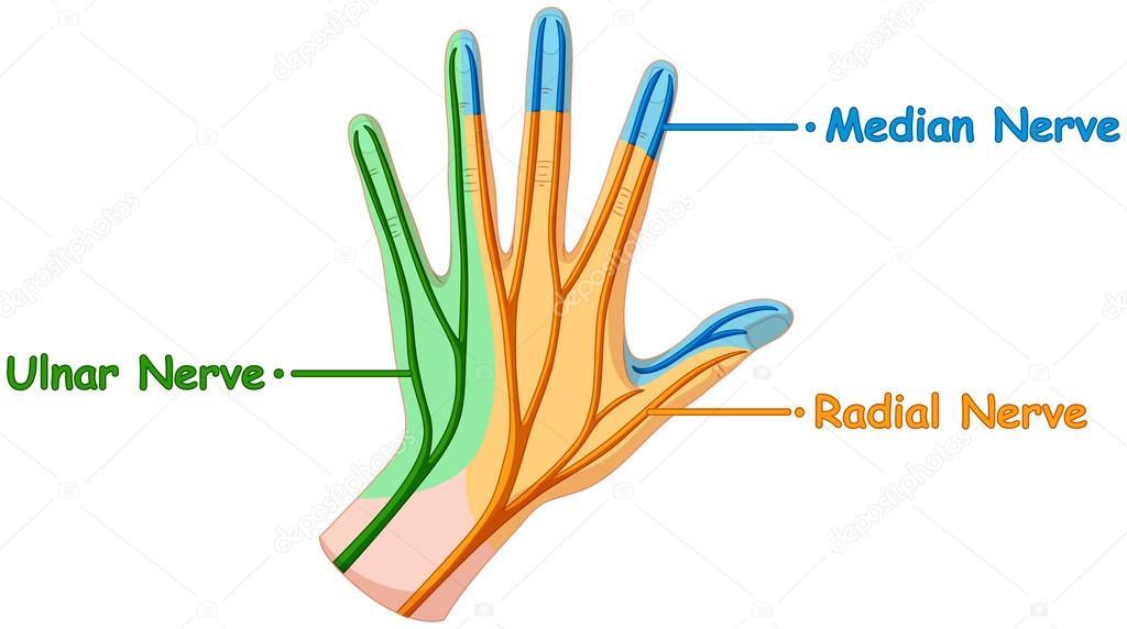 Sistema nervioso en la mano humana — Vector de stock ...