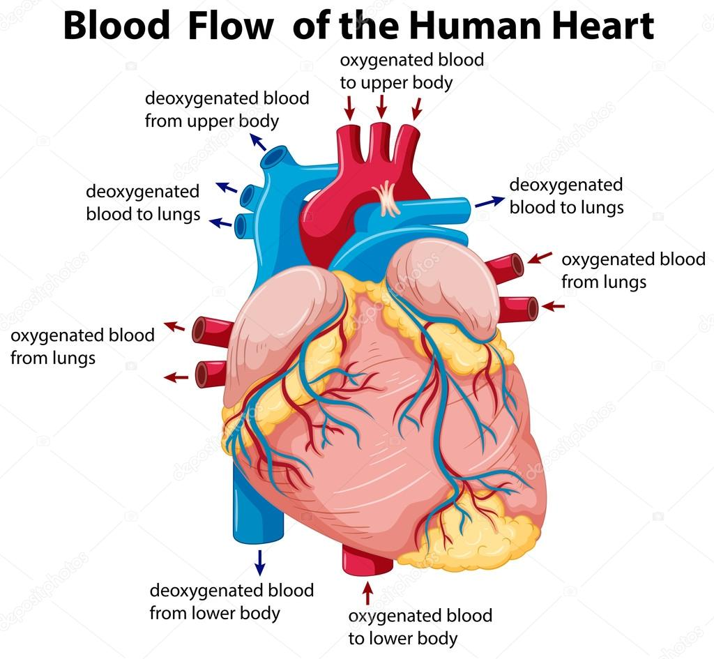 Diagram showing blood flow in human heart stock vector diagram showing blood flow in human heart illustration vector by interactimages ccuart Image collections