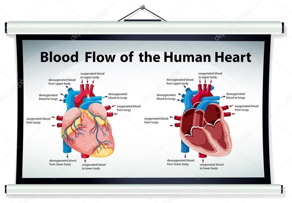 Diagrama que muestra el flujo de sangre en el corazón humano ...
