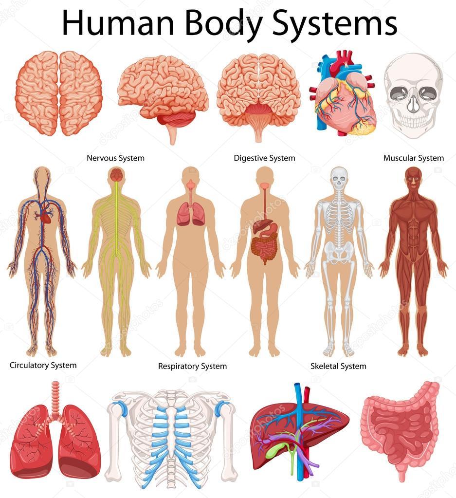 Diagrama que muestra los sistemas del cuerpo humano — Vector de ...