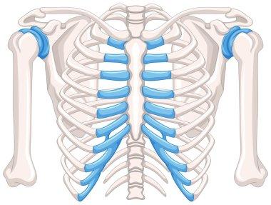 Human bone diagram on white background