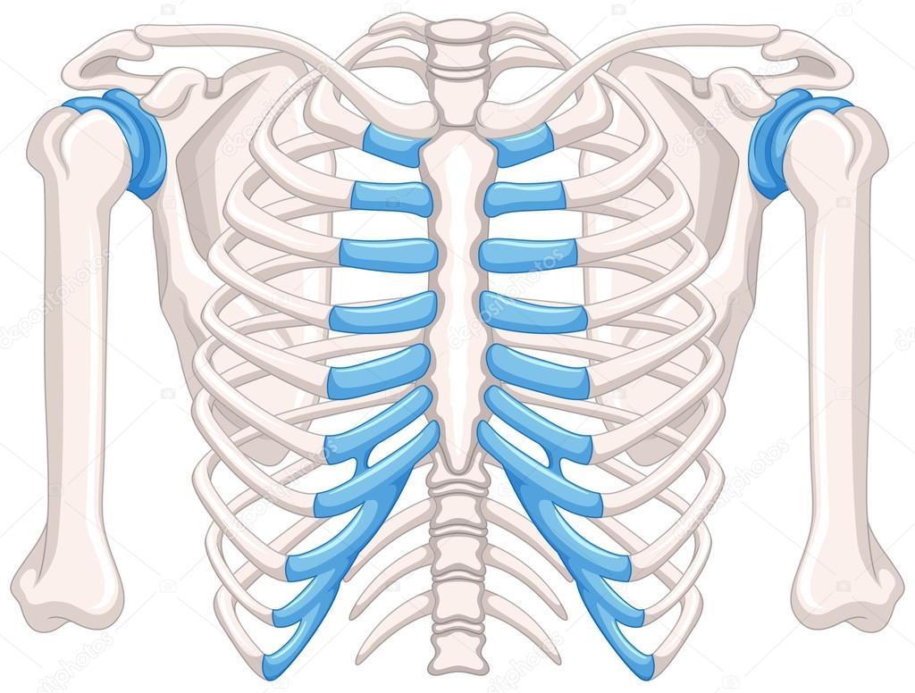 Diagrama de hueso humano sobre fondo blanco — Vector de stock ...