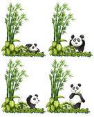Fotografia Panda e bambù