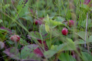 A lot of wild strawberries