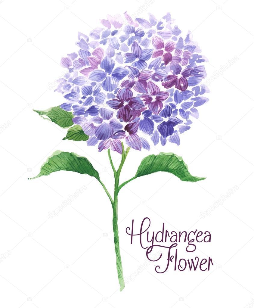 Branch of blue hydrangea