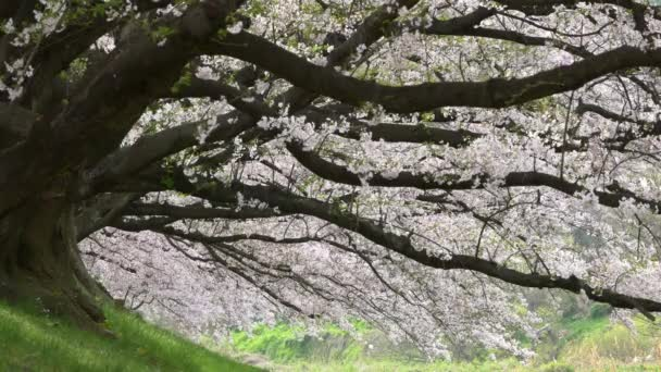 Cherry blossom plátky padají na Sewari břehu řeky, Kyoto, Japonsko