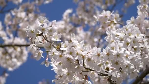 Třešňové květy (Sakura) hloubkou ostrosti proti modré obloze