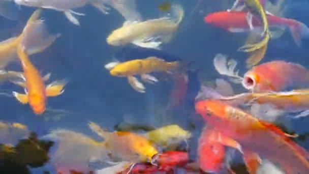 Ryby kapr, koupání v rybníku