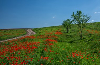 Endless fields of red poppies in the steppes of Kazakhstan.