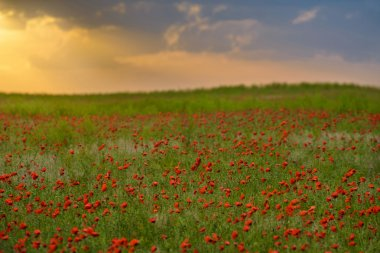 Endless fields of red poppies exude the magical fragrance of spring